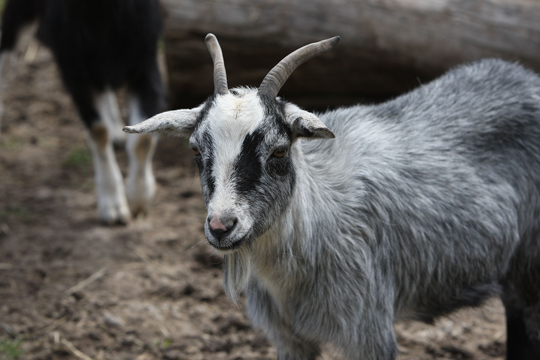 miniature grey goat at Lionel's Farm in Stouffville