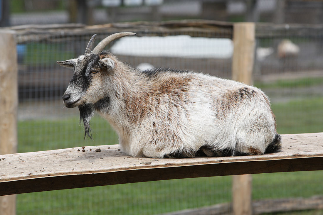 goats to visit at Lionel's Farm in Stouffville