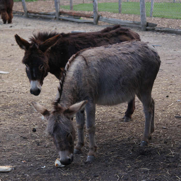 donkeys at Lionel's Pony Farm